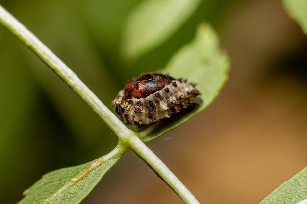 Insektenpuppe schlüpfen