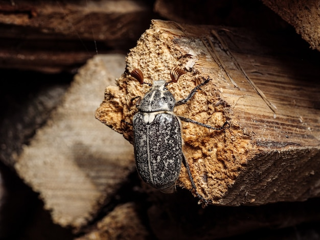 Insektenschädling - maikäfer sitzt auf einem bretterschnitt. nahaufnahme, kopienraum.