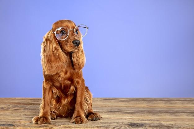 Intelligent und einzigartig. englischer cocker spaniel junger hund posiert. nettes verspieltes braunes hündchen oder haustier sitzt auf holzboden isoliert auf blauem hintergrund. konzept der bewegung, aktion, bewegung, haustierliebe.