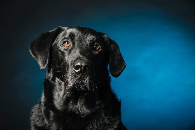 Intelligenter labrador-apportierhund