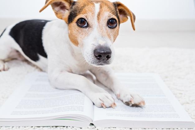 Intelligenter netter steckfassungsrussell-terrierhund, der auf einem offenen buch liegt