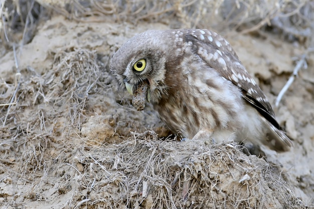 Interessante und ungewöhnliche momente aus dem leben der vögel der steinkauz spuckt die futterreste aus.