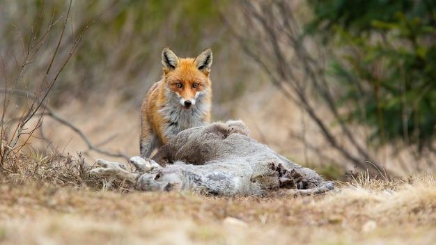 Interessierter rotfuchs mit einer beute, die im winter auf einer wiese in die kamera schaut