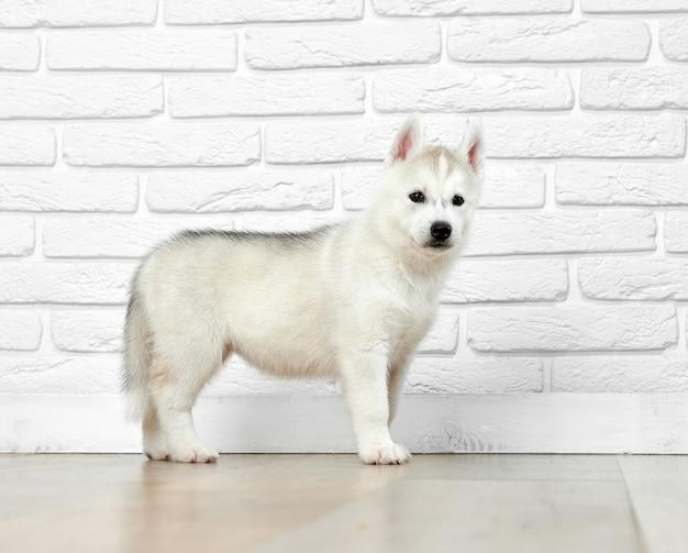 Interessierter siberian husky welpe, posiert, steht an der weißen backsteinmauer, schaut weg und spielt. netter kleiner hund wie wolf mit getragenem fell und schwarzen augen.
