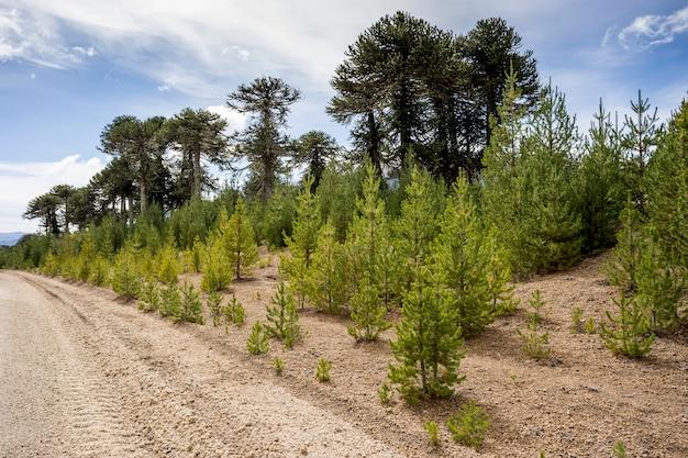 Invasive exotische kiefern in araucarias wäldern, neuquen, patagonien argentinien.