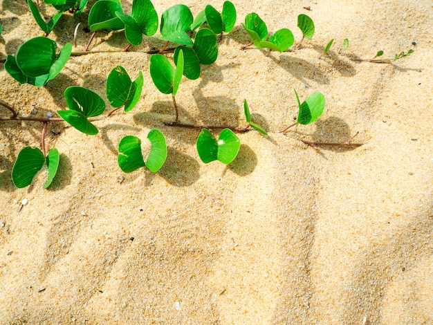 Ipomoea pes-caprae auf schönem strand des sandes am morgen- und kopienraumhintergrund.