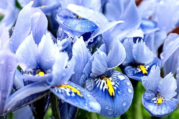 Iris blaue blütenblätter mit tautropfen blumenhintergrund