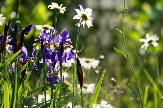Iris. mehrjährige rhizomatöse pflanze aus der familie der schwertlilien iridaceae. schöne florale zusammenfassung der natur. sommerlandschaft. nützlich. luxuriöse gelbe blume