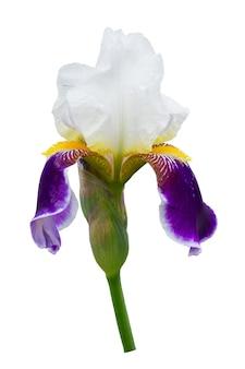 Iris mit weißen und lila blütenblättern auf einem weißen isolierten hintergrund