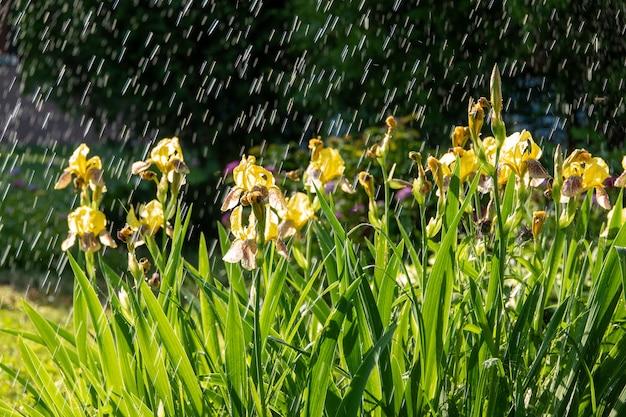 Iris pseudacorus leuchtend gelbe wasserflagge blüht in voller blüte, schöne blühende pflanze, grüne blätter