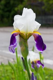 Irisblume mit weißen und lila blütenblättern auf dem blumenbeet am straßenrand