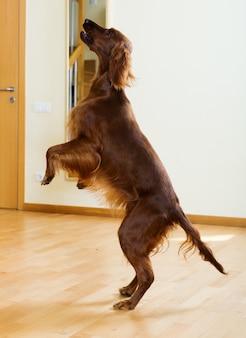 Irischer setter, der am wohnzimmer springt
