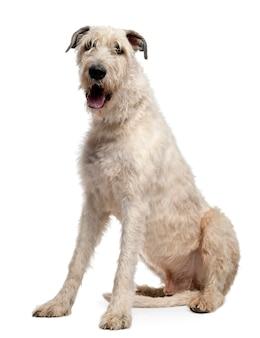 Irischer wolfshund, 4 jahre alt, sitzt vor weißer wand