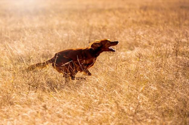 Irish red setter jagd. hundelauf auf dem feldversuch draußen horizontal.