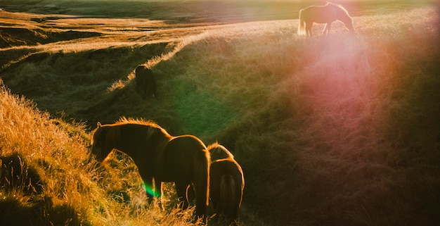 Isländische landschaften, sonnenuntergang in einer wiese mit pferden, die hintergrundbeleuchtung weiden lassen