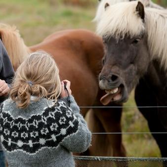 Isländisches pferd, das heraus zunge und das mädchen macht foto haftet