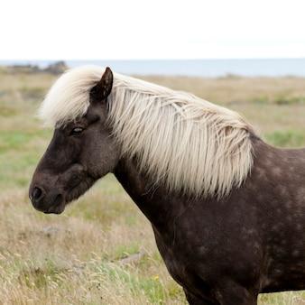Isländisches pferd in der weide