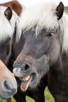 Isländisches pferd mit dem zahndarstellen
