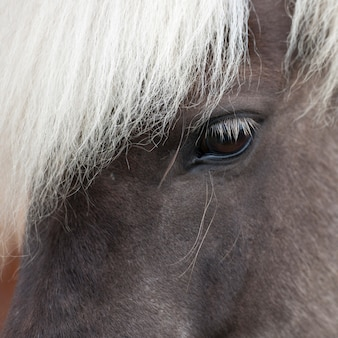 Isländisches pferd, nahaufnahmeauge