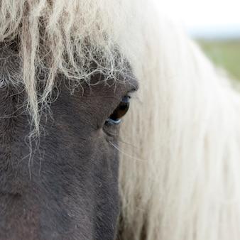 Isländisches pferdegesicht