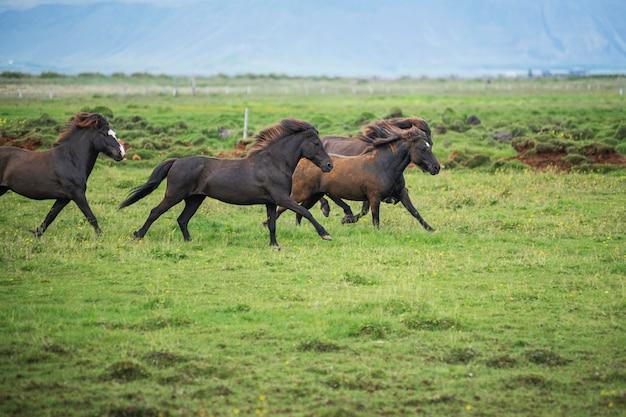 Island landschaft der schönen hengste