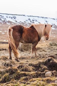 Islandpferd, das durch ein feld geht, das im schnee in island bedeckt ist