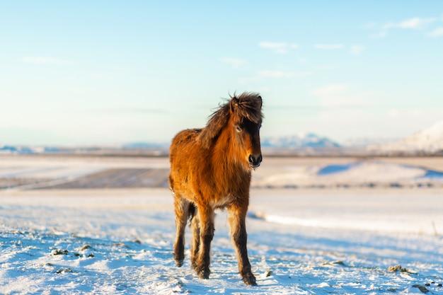 Islandpferd geht im winter im schnee spazieren. isländische winterlandschaft