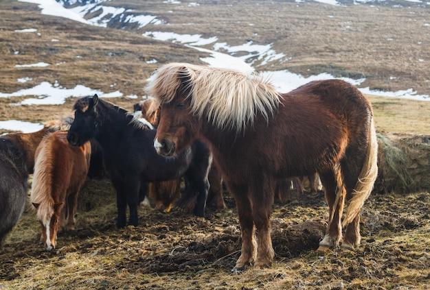 Islandpferd in einem feld umgeben von pferden und dem schnee unter dem sonnenlicht in island