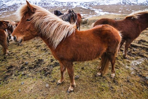Islandpferd in einem feld umgeben von pferden und schnee unter dem sonnenlicht in island