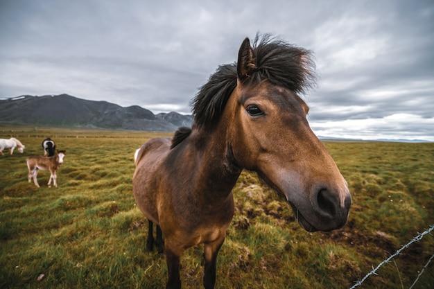 Islandpferd in landschaftlich reizvoller natur von island.