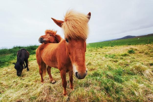 Islandpferde auf der weide mit blick auf die berge
