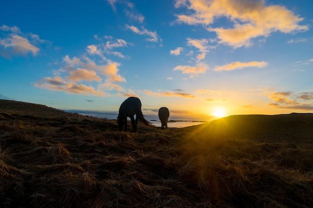 Islandpferde auf einem feld, das in der goldenen stunde bei sonnenaufgang mit der sonne im hintergrund geschossen wurde