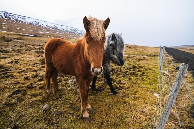 Islandpferde in einem feld bedeckt im gras und im schnee unter einem bewölkten himmel in island