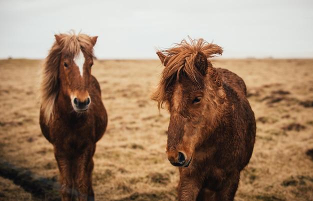 Islandpferde laufen frei