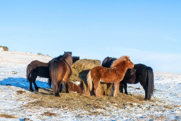 Islandpferde laufen im schnee in der nähe eines heuhaufens. bauernhof in island