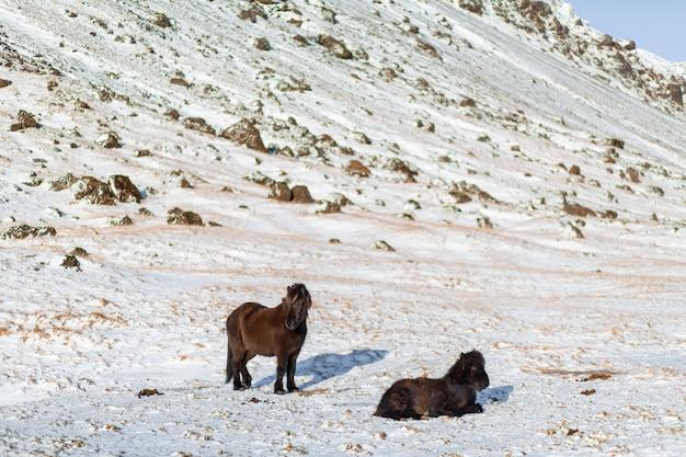 Islandpferde laufen im winter im schnee auf einem hügel
