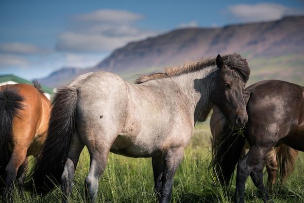 Islandpferde und wunderschöne landschaft