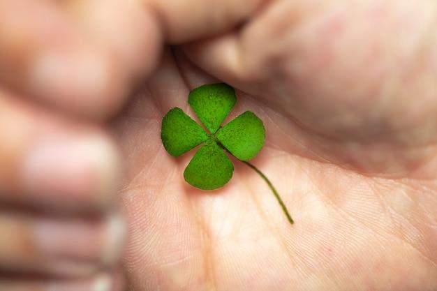 Isolierte hand mit grünem vierblättriges kleeblatt, zeichen des glücks, zeichen des großen glücks. nahaufnahme klee vier