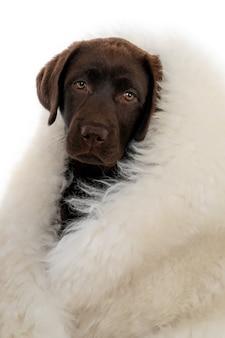 Isolierte nahaufnahme von chocolate labrador retriever welpen in weißem schaffell
