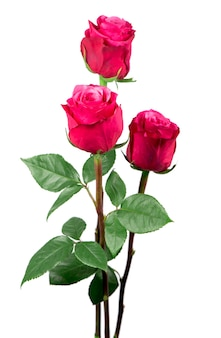 Isolierte rosa rosenblume auf einem weißen hintergrund