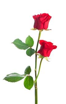 Isolierte rote rosenblume auf einem weißen hintergrund