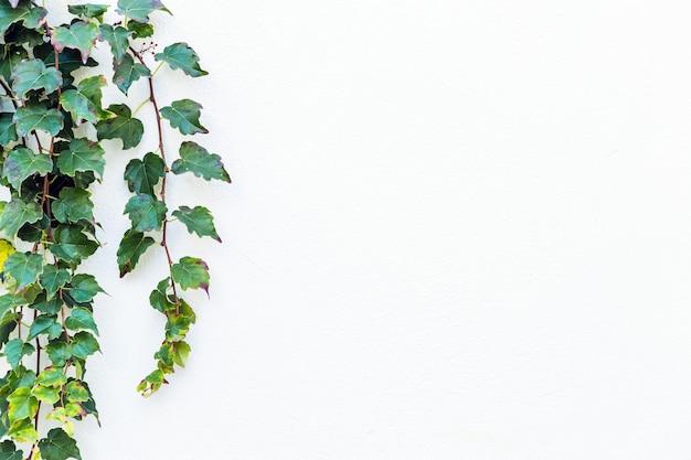Isolierte schöne grüne efeupflanze während des frühlings mit weiß