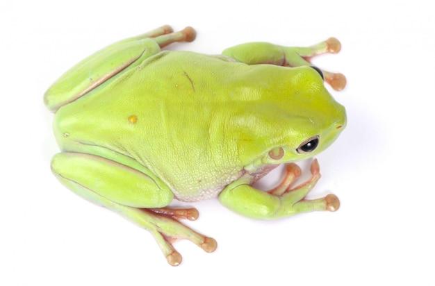 Isolierter grüner laubfrosch