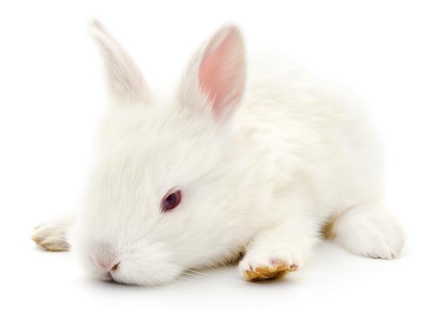 Isoliertes bild eines weißen häschens
