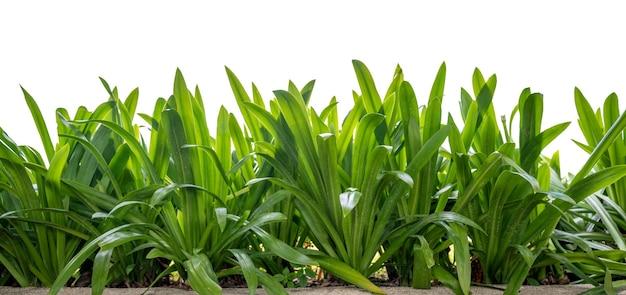 Isoliertes gras hohe grüne blätterdetails