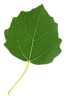 Isoliertes grünes espenblatt auf weißem hintergrund. blätter des baumes, herbarium.