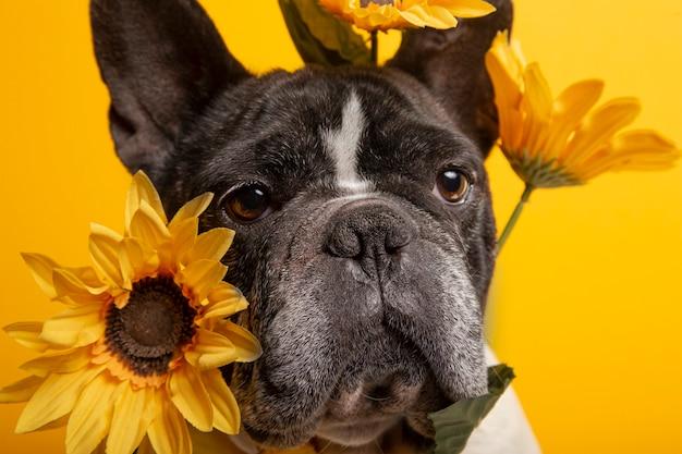 Isoliertes porträt der französischen bulldogge mit sonnenblumen auf gelber wand