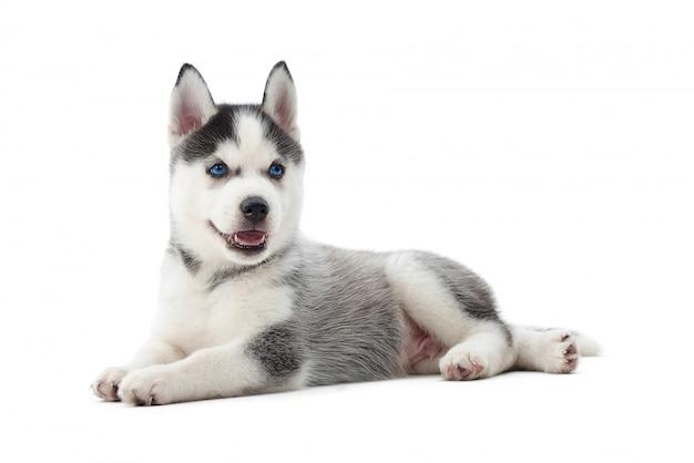 Isoliertes porträt des siberian husky-hundes des kleinen welpen mit den blauen augen, die auf boden liegen. lustiger kleiner hund mit geöffnetem mund, ruhend, entspannt, wegschauend. getragener hund.