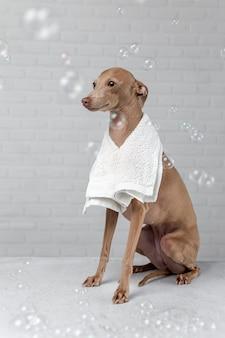 Italienischer piccolo-hund, der zum bad fertig wird