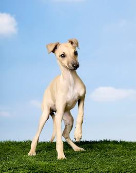 Italienischer windhund (3 monate) auf gras gegen blauen himmel